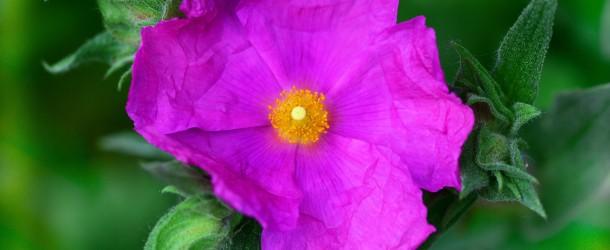 Czystek – niepozorne zioło, wielkie możliwości