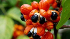 Guarana – odchudza i poprawia pamięć