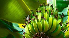 Dlaczego warto jeść zielone banany? – Właściwości skrobi opornej
