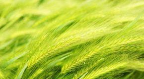 Zielony jęczmień w zdrowej diecie